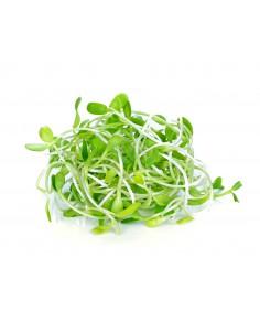 ต้นอ่อนทานตะวัน (Sunflower Sprout)