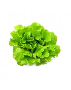 กรีนโอ๊ค ( Green Oak )